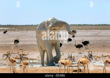 African elephant (Loxodonta africana), elefant after mud bath in a waterhole with impalas and ostriches, Namibia, - Stock Photo