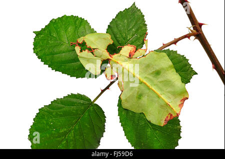 Celebes Leaf Insect, leaf insect, walking leave (Phyllium celebicum), female on blackberry leaf, cut out - Stock Photo