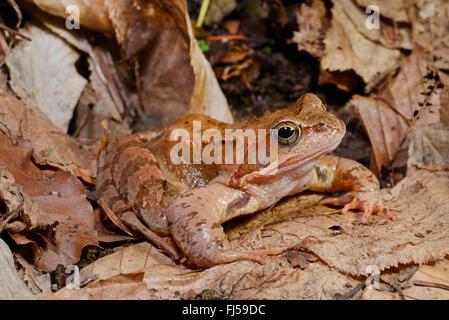 common frog, grass frog (Rana temporaria), on fallen leaves, Romania, Karpaten - Stock Photo