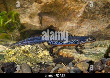 alpine newt (Triturus alpestris, Ichthyosaura alpestris, Mesotriton alpestris, Ichthyosaura alpestris carpathica), - Stock Photo