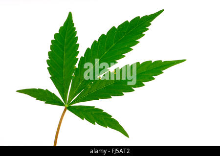hindu singles in weed The other common names for this herb are hemp/cannabis , marijuana, pot, gunja downy, pale yellowish segments, and the female a single, hairy, glandular.