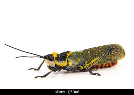 Coffee locust, Ghost Grasshopper, Northern Spotted Grasshopper, Foam Grasshopper  (Aularchis miliaris), colourful - Stock Photo
