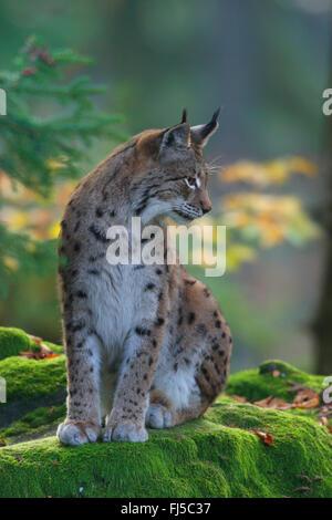 Eurasian lynx (Lynx lynx), sits on a mossy rock, Germany, Bavaria, Bavarian Forest National Park - Stock Photo