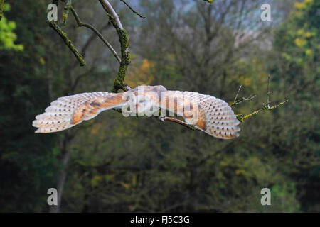 Barn owl (Tyto alba), flying, Germany - Stock Photo