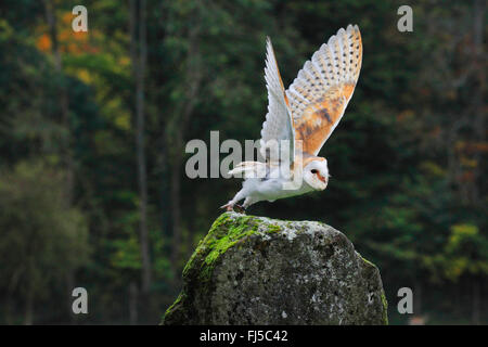 Barn owl (Tyto alba), starting form a rock, Germany - Stock Photo