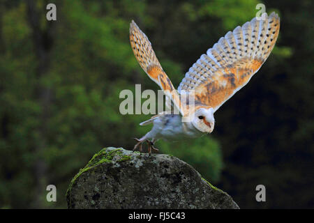 Barn owl (Tyto alba), starting form a rock, Germany - Stock Photo