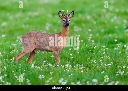 roe deer (Capreolus capreolus), roe buck in spring, Germany, Lower Saxony - Stock Photo