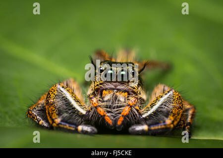 Macro of jumping spider on green leaf. - Stock Photo