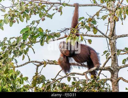 orang-utan, orangutan, orang-outang (Pongo pygmaeus), adult male feeding on figs in the top of a tree at Kinabatangan - Stock Photo