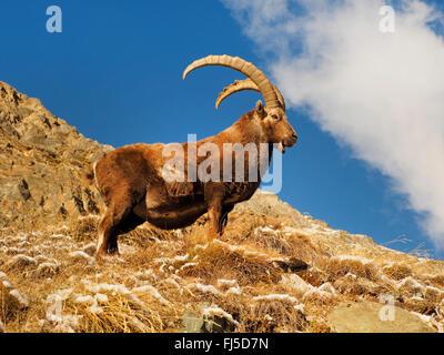 Alpine ibex (Capra ibex, Capra ibex ibex), male ibex in winter , Italy, Gran Paradiso National Park - Stock Photo