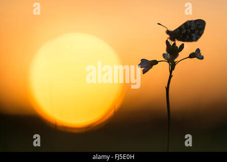 Orange-tip (Anthocharis cardamines), sitting on a bitter-cress in backlight, Germany, Lower Saxony, Oldenburger - Stock Photo