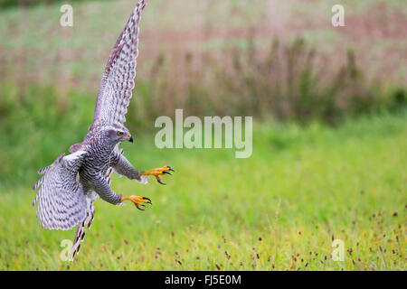 northern goshawk (Accipiter gentilis), landing on grass, Germany, Bavaria, Niederbayern, Lower Bavaria - Stock Photo
