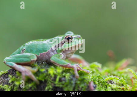 European treefrog, common treefrog, Central European treefrog (Hyla arborea), sitting on a moss cushion, side view, - Stock Photo