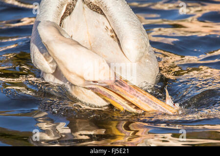 eastern white pelican (Pelecanus onocrotalus), catching a fish, front view - Stock Photo