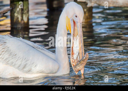 eastern white pelican (Pelecanus onocrotalus), with fishes in the throat pouch, side view - Stock Photo