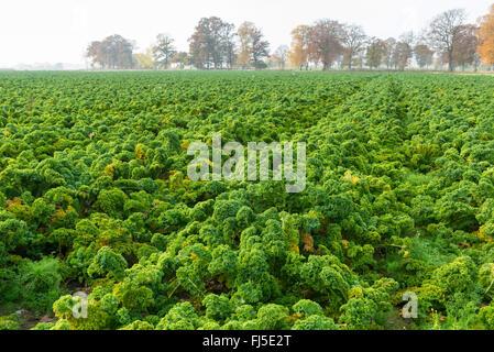 kale, borecole (Brassica oleracea var. sabellica, Brassica oleracea convar. acephala var. sabellica), Germany, Lower - Stock Photo