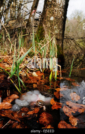 common frog, grass frog (Rana temporaria), frozen grass frog in a pond, spawn is swelling out of the body , Germany, - Stock Photo