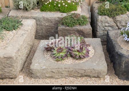Sempervivum houseleek growing in an alpine trough stock for Pip probert garden designer