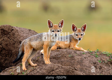 black-backed jackal (Canis mesomelas), two cubs at the den, Kenya, Masai Mara National Park - Stock Photo
