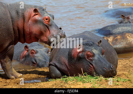 hippopotamus, hippo, Common hippopotamus (Hippopotamus amphibius), group at riverbank, Kenya, Masai Mara National - Stock Photo
