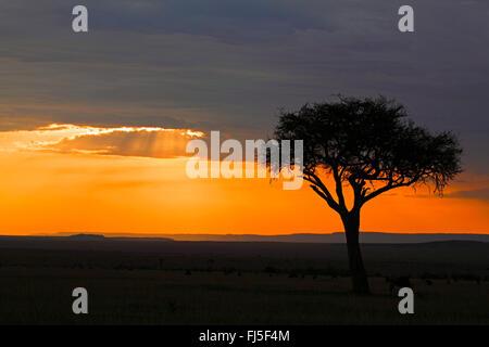 acacia in setting sun at Masai Mara, Kenya, Masai Mara National Park - Stock Photo