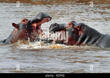 hippopotamus, hippo, Common hippopotamus (Hippopotamus amphibius), two fighting hippos in water, Kenya, Masai Mara - Stock Photo