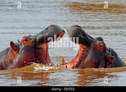 hippopotamus, hippo, Common hippopotamus (Hippopotamus amphibius), fighting hippos in water, Kenya, Masai Mara National - Stock Photo