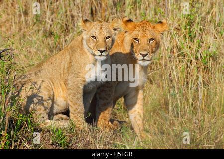 lion (Panthera leo), two cubs, Kenya, Masai Mara National Park - Stock Photo
