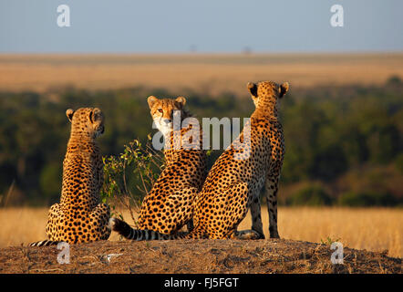 cheetah (Acinonyx jubatus), three cheetahs in evening light, Kenya, Masai Mara National Park - Stock Photo