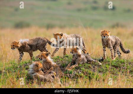 cheetah (Acinonyx jubatus), six cubs, Kenya, Masai Mara National Park - Stock Photo