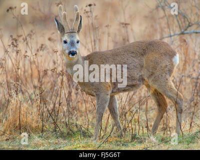 roe deer (Capreolus capreolus), buck in winter, Germany, Brandenburg - Stock Photo