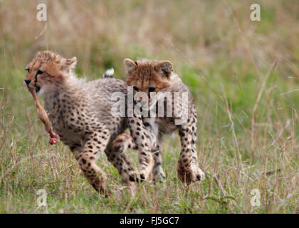 cheetah (Acinonyx jubatus), two young cheetahs, Kenya, Masai Mara National Park - Stock Photo