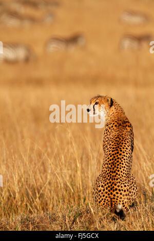 cheetah (Acinonyx jubatus), sits in savanna with grazing zebra herd in the background, Kenya, Masai Mara National - Stock Photo