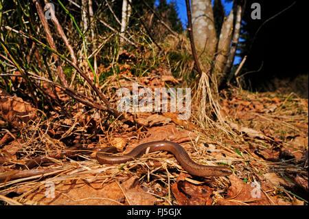 European slow worm, blindworm, slow worm (Anguis fragilis), male slow worm winding through foliage, Germany, Baden - Stock Photo