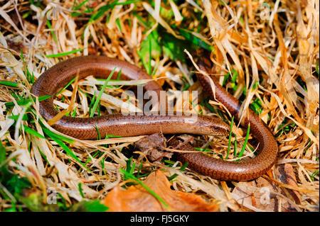 European slow worm, blindworm, slow worm (Anguis fragilis), male slow worm, Germany, Baden-Wuerttemberg, Black Forest - Stock Photo