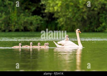 mute swan (Cygnus olor), with chick on its back, Austria, Burgenland - Stock Photo