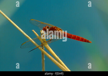 Broad Scarlet, Common Scarlet-darter, Scarlet Darter, Scarlet Dragonfly (Crocothemis erythraea, Croccothemis erythraea), - Stock Photo