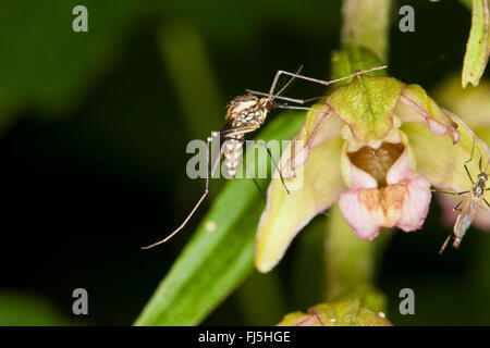 Banded house mosquito, Banded mosquito, Ring-footed gnat (Culiseta annulata, Theobaldia annulata), on a flower of - Stock Photo