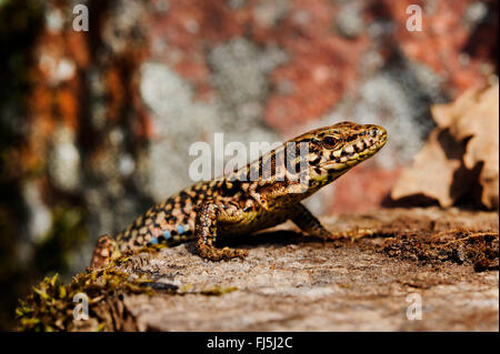 common wall lizard (Lacerta muralis, Podarcis muralis), on a tree snag, side view, Germany, Baden-Wuerttemberg, - Stock Photo