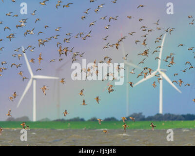 dunlin (Calidris alpina), Flock of birds with dunlins, red knots and grey plover, Germany, Schleswig-Holstein, Schleswig - Stock Photo