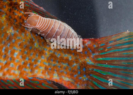 fish-flea, fish louse, parasitic fish isopod (Anilocra spec.), parasitizing on a wrasse - Stock Photo