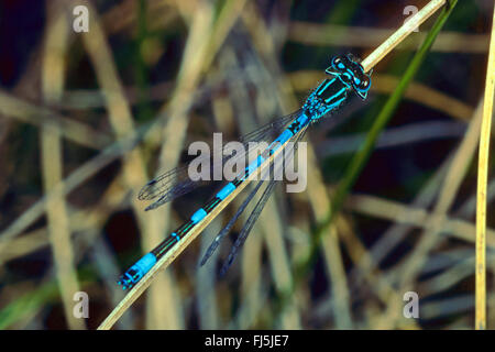 Southern damselfly (Coenagrion mercuriale), male, Germany - Stock Photo