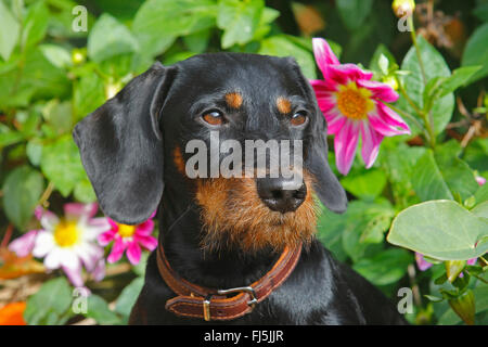 Wire-haired Dachshund, Wire-haired sausage dog, domestic dog (Canis lupus f. familiaris), black and tan nineteen - Stock Photo