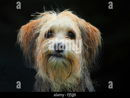mixed breed dog (Canis lupus f. familiaris), five months old male Maltese Chihuahua mixed breed dog, portrait with - Stock Photo