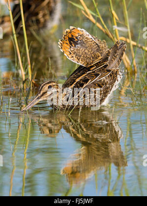 common snipe (Gallinago gallinago), adult bird in threatening posture, Germany - Stock Photo