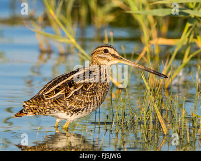 common snipe (Gallinago gallinago), standing in shallow water and searching food, Germany - Stock Photo
