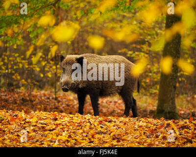 wild boar, pig, wild boar (Sus scrofa), young tusker in autumn forest, Germany, Baden-Wuerttemberg - Stock Photo