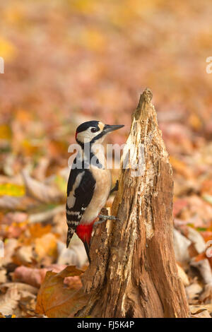 Great spotted woodpecker (Picoides major, Dendrocopos major), male at a tree snag in autumn, Germany, North Rhine - Stock Photo
