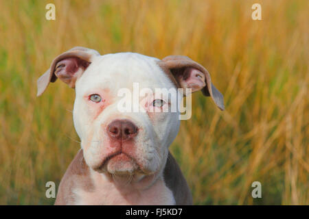 Olde English Bulldog (Canis lupus f. familiaris), twelve weaks old puppy sitting in a meadow, portrait, Germany - Stock Photo