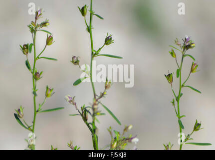 small toadflax, common dwarf snapdragon (Chaenorhinum minus, Chaenarhinum minus), blooming, Germany, Bavaria, Oberbayern, - Stock Photo